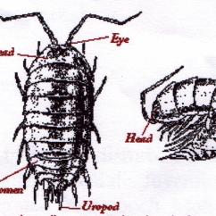 Diagram Of A Pill Bug White Rodgers Type 91 Relay Wiring Pilly Interactive