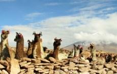 Lamas in Bolivia