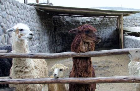 Arequipa,Colca,Peru (209) (800x533)