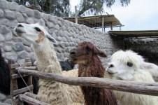 Arequipa,Colca,Peru (213) (800x533)