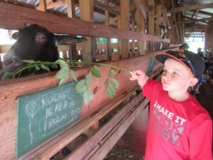 Ryan feeding the goats at the dairy farm