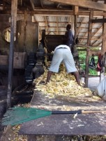 Discarded sugar cane plants are manually gathered