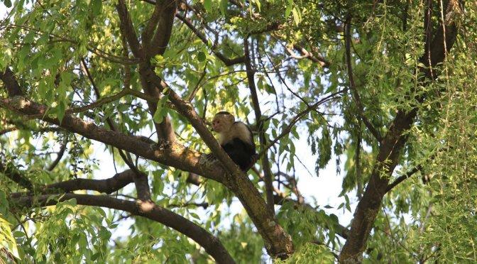 Buscan a mono capuchino hasta con dron… pero no lo encuentran