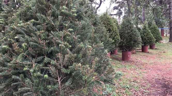 Árboles de navidad naturales contra artificiales ¿qué es mejor?