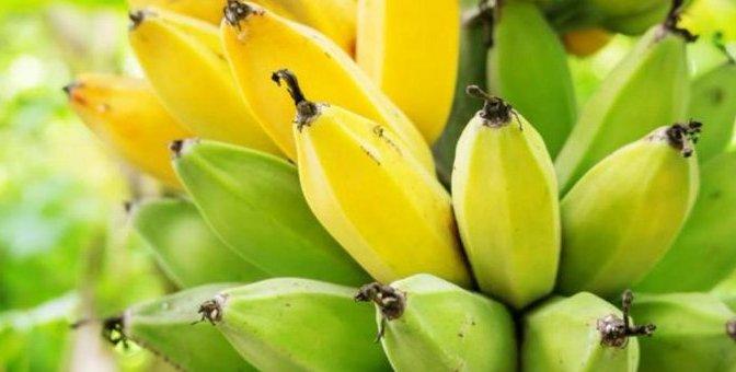 México aplica acciones para prevenir plaga en cultivos de plátano
