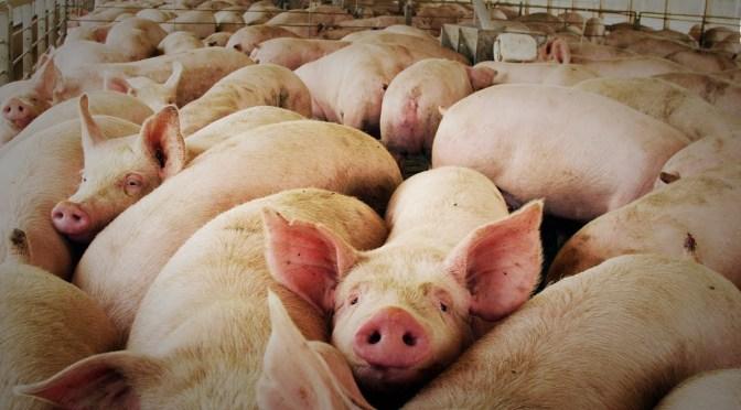 El reto de la Peste Porcina Africana durante la pandemia