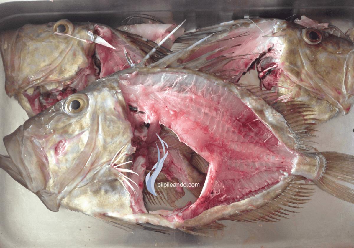 Ojo de pez gallo