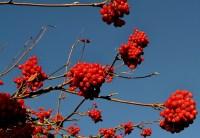 Rowanberrys