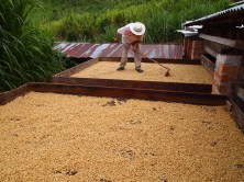 Sun drying is the best for quality coffee