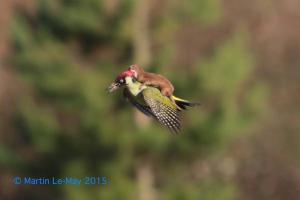Belette vole ! une belette sur le dos d'un piver