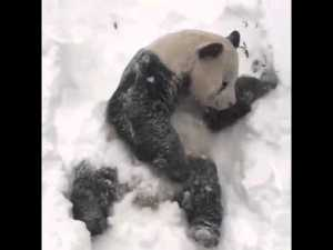 Tian Tian le panda géant joue dans la neige pendant snowzilla au Zoo national de Washington, DC – YouTube