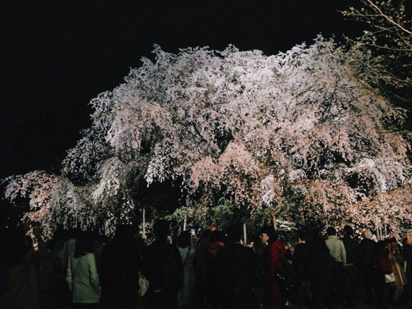 rikugien sakura