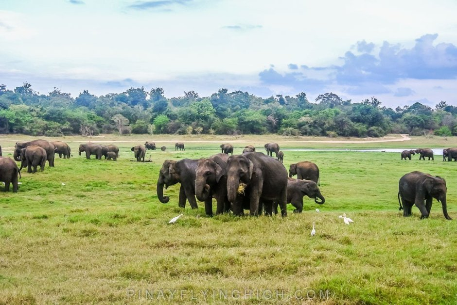 Minneriya National Park, Sri Lanka - PinayFlyingHigh.com-200