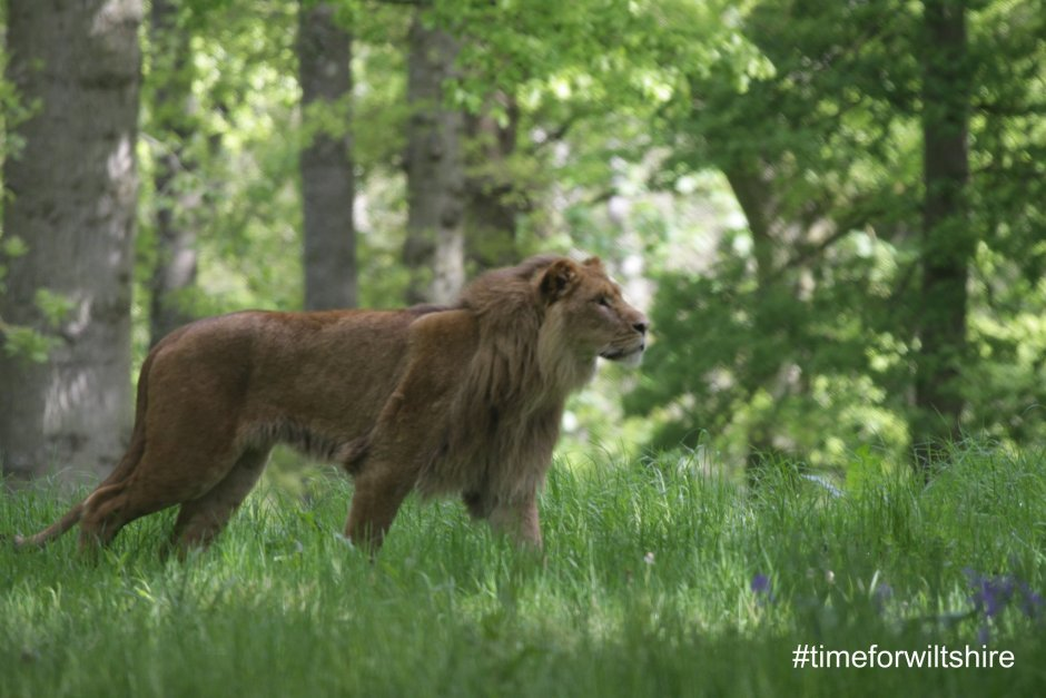 Lion in Longleat Safari Park