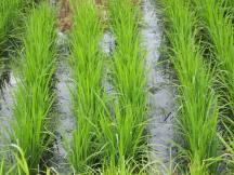 Du riz à Sapporo