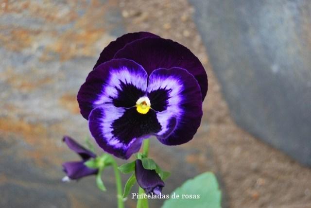 pensamiento-flor-malva-intenso-15