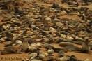 Cape Cross - Fur seals