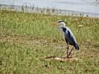 Grey heron, Ardea cinerea By Dimitris