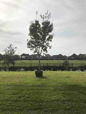 maple tree houston