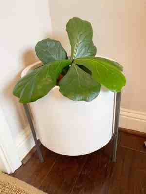 How-to-grow-a-Fiddle-Leaf-Fig-Tree