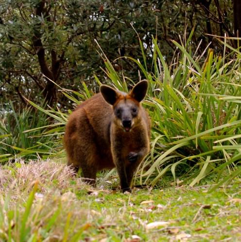 Scheu, aber zuckersüß: Ein Wallaby.