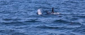 Orkas im Pazifik in der Nähe von Exmouth.