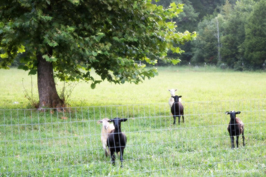 Sheepatfarm_Lensdepictions