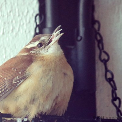 Carolina Wren on my Bird Feeder!