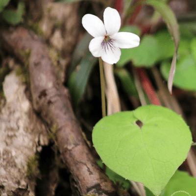 Northern White Violet