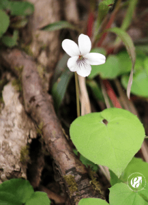 Northern white violet wildflower