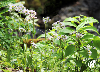Robin's Plaintain Wildflowers