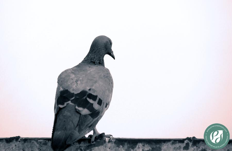 PigeonStaring_PCD