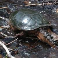 Snapping Turtle, Yikes !