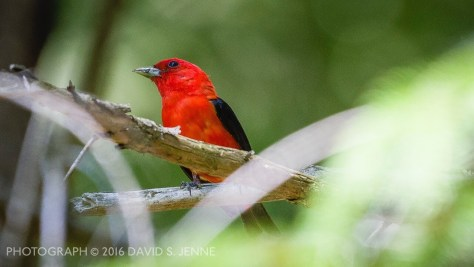 scarlet-tanager-david_jenne