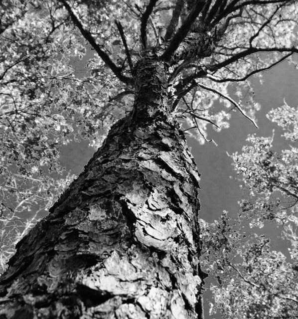 pine-tree-b-w