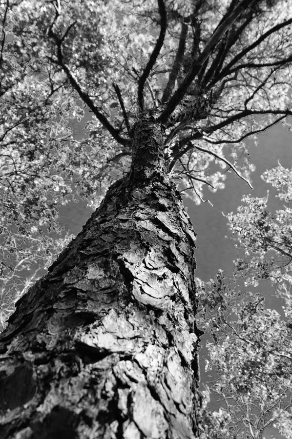 pine-tree-b-w photograph