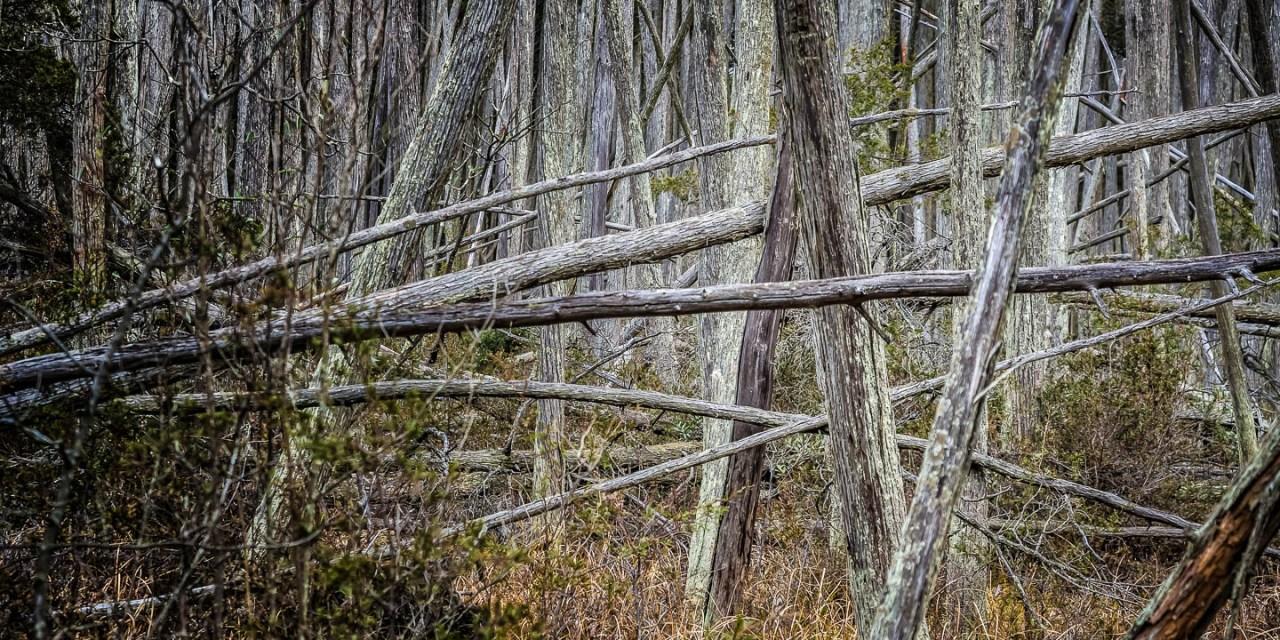 cedar-swamp-
