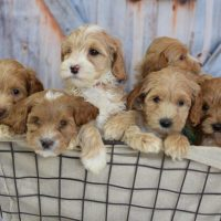 Available Breeding Dogs