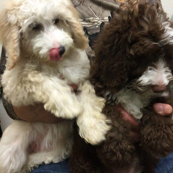 photo of Australian labradoodle puppies