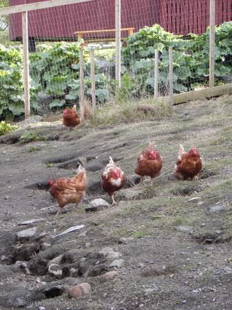 Hens on the march.