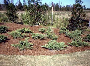east texas pine straw