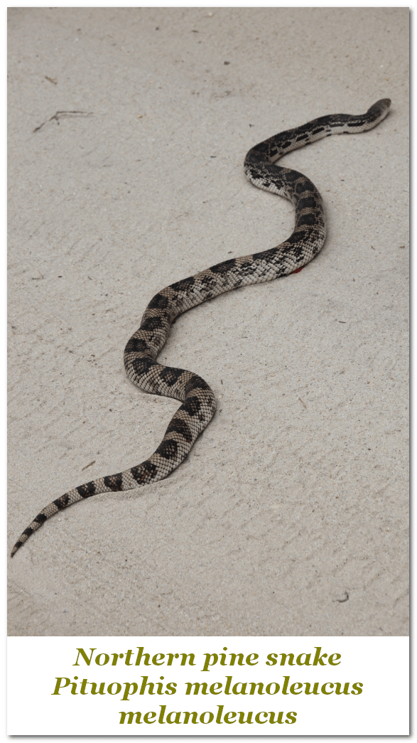 NJ Northern Pine Snake