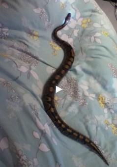 tapis de course pour serpent