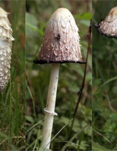 Until also  brief guide to mushroom foraging in ireland fft rh