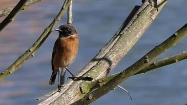 76eacc2789 Aves do Pinhal do Rei. Aves do Pinhal de Leiria. Aves dos pinhais.
