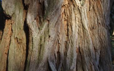 Eucaliptos robustos