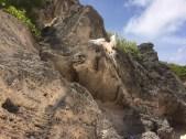 Bermuda Longtail (image:HCL)