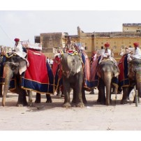 2050088-elephants_in_Amber_fort_for_the_tourist_delight_India