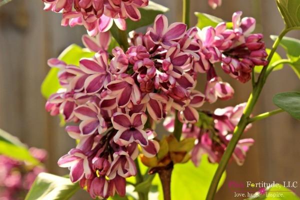 Spring Garden Tour by coconutheadsurvivalguide.com #lilac