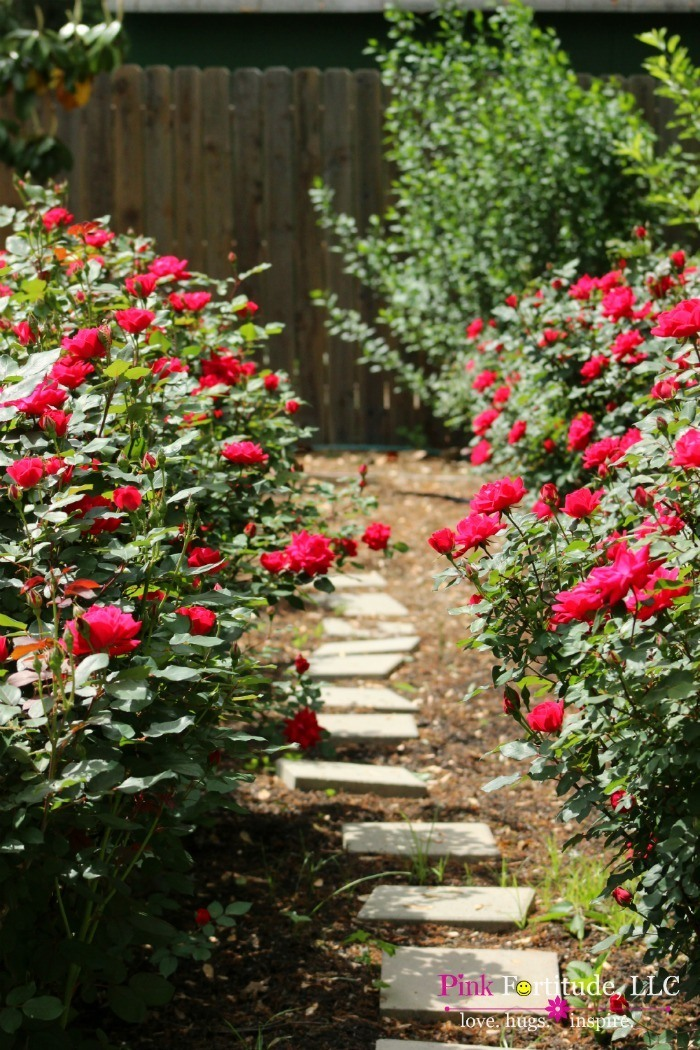 Stunning Rose Garden Tour by coconutheadsurvivalguide.com